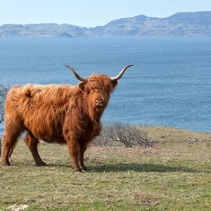 scottish-highlands-cow.jpg