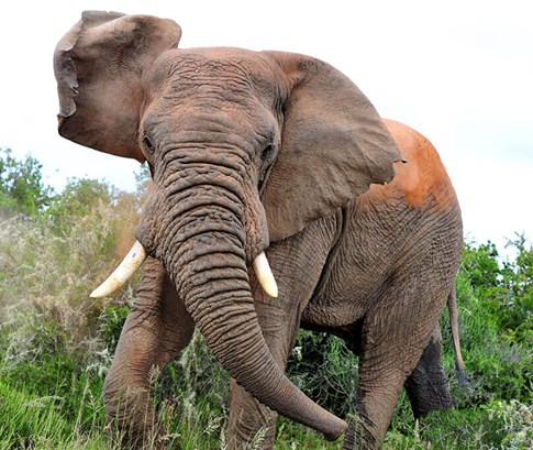 Elephant at the Shamwari Game Reserve, South Africa