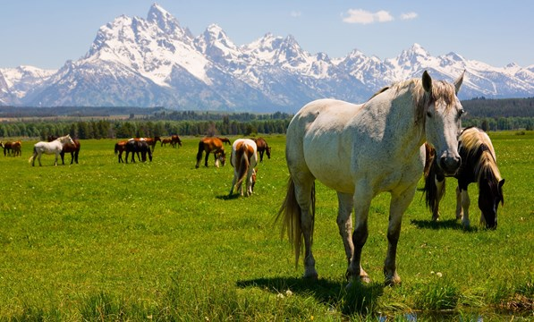 Grand Tetons national park horses