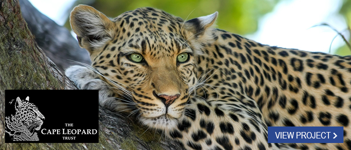 cape leopard trust view project